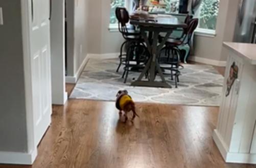 Old dog walking across the wooden floor toward table, hallway